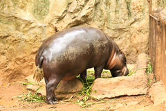 Hippopotamus eating vegetable Royalty Free Stock Images