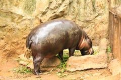 Hippopotamus eating vegetable Royalty Free Stock Images