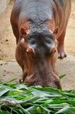 Hippopotamus eatting Royalty Free Stock Photography