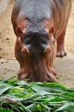 Hippopotamus eatting Royalty Free Stock Photos