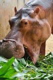 Hippopotamus eatting Stock Photos