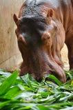 Hippopotamus eatting Stock Image
