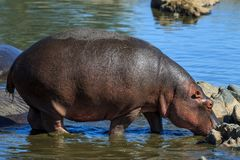A Hippopotamus on the edge of a river. The common hippopotamus, or hippo, is a large, mostly herbivorous, semiaquatic mammal native to sub-Saharan Africa, and Royalty Free Stock Image