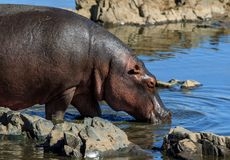 A Hippopotamus on the edge of a river royalty free stock photo