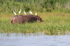 Hippopotamus с Egrets Стоковое фото RF