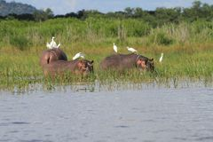 Hippopotamus with egrets. Shire River, Liwonde National Park, Malawi royalty free stock images