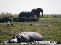 Hippopotamus and elephant in Chobe National Park. Chobe National Park, Botswana-August 18, 2016:The beautiful Chobe National Park is found in the north of Royalty Free Stock Image