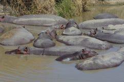 Hippopotamus en África Imagen de archivo libre de regalías