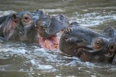 Hippopotamus en agua Fotografía de archivo libre de regalías