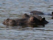 Hippopotamus en el agua Fotos de archivo libres de regalías