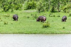 Hippopotamus walking in the green grass. royalty free stock images