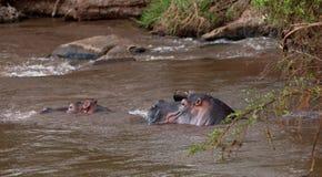 Hippopotamus enjoying it´s bath Royalty Free Stock Photos