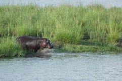 Hippopotamus Entering the Water Stock Photography