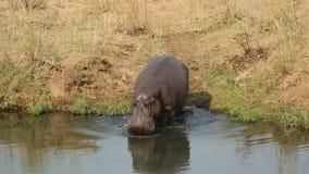 Hippopotamus entering water stock video footage