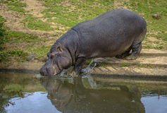 Hippopotamus entering the water. To refresh itself Stock Images
