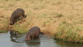 Hippopotamus entering water stock footage