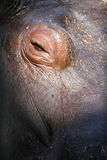 Hippopotamus eye Stock Images