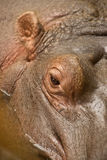 Hippopotamus eye Stock Image