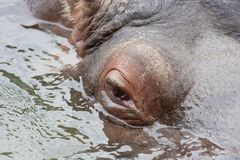 Hippopotamus eye Royalty Free Stock Photo