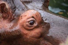 Hippopotamus eye Stock Photography