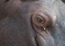 Hippopotamus eye. Closeup of the head of a rhinoceros with particular eye Royalty Free Stock Image