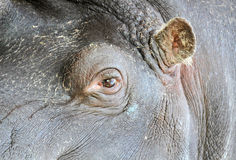 Hippopotamus eye and ear Stock Photo