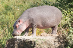 Hippopotamus with eyes closed stands on rock Royalty Free Stock Image