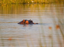Hippopotamus eyes us with only part of head showing is submerges Stock Photo