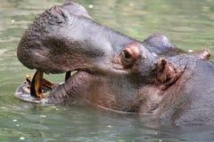 Hippopotamus face Stock Image