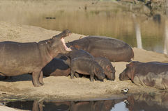Hippopotamus family. At waterhole relaxing Stock Photos