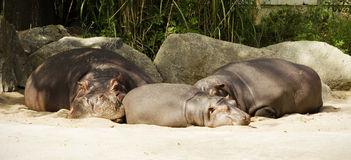 Hippopotamus family Royalty Free Stock Image
