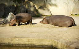 Hippopotamus family Royalty Free Stock Photography