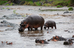 Hippopotamus family Stock Images