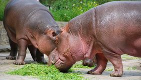 Hippopotamus family Hippopotamus amphibius royalty free stock photo