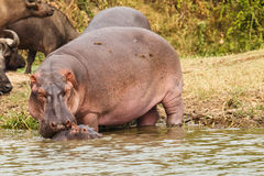 Hippopotamus family Stock Photography
