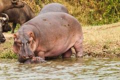 Hippopotamus family. Hippopotamus in the lake on Uganda Stock Photography