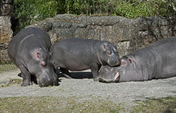Hippopotamus family 2 Royalty Free Stock Image