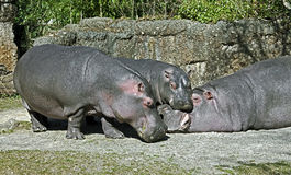 Hippopotamus family 4 Royalty Free Stock Photo