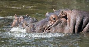 Hippopotamus family 5 Stock Photography