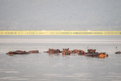 Hippopotamus family resting in a lake, Nairobi National Park, Ke Stock Photos
