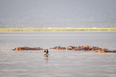 Hippopotamus family resting in a lake, Nairobi National Park, Ke Royalty Free Stock Photography