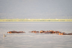 Hippopotamus family resting in a lake, Nairobi National Park, Ke Royalty Free Stock Image