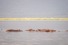 Hippopotamus family resting in a lake, Nairobi National Park, Ke Stock Photography