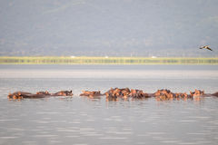 Hippopotamus family resting in a lake, Nairobi National Park, Ke Stock Photo