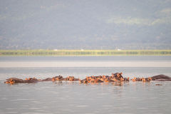 Hippopotamus family resting in a lake, Nairobi National Park, Ke Stock Image