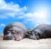 Hippopotamus Family Siesta Royalty Free Stock Photography