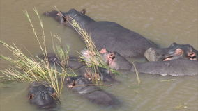 Hippopotamus family Royalty Free Stock Images