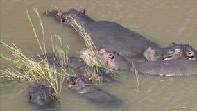 Hippopotamus family stock video
