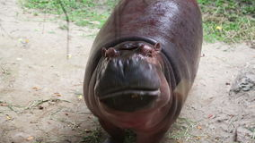 Hippopotamus feeding in Khao Kheow Open Zoo. stock video