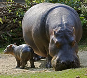 Hippopotamus 10. Hippopotamus female with her kid. Latin name - Hippopotamus amphibius stock photos